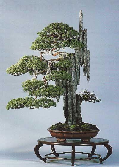 Árvore bonsai de Masahiko Kimura. Kimura tem muitas vezes realçado a criação de um bonsai natural. Seu conceito de naturalidade é o da tradição de arte asiática. Não se trata de aparências, mas sobre a natureza das coisas. Um bonsai não é para ser visto como uma árvore, mas deve dar-nos as emoções que são semelhantes às criadas por uma árvore na natureza. Deve expressar a grandeza, a selvageria, os aspectos dinâmicos e dramáticos da natureza.  Texto: Gerlind Lind. Fotografia:  Bonsai Art.