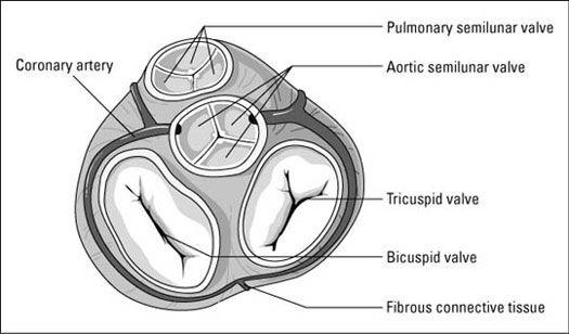 25  b u00e4sta cardiac anatomy id u00e9erna p u00e5 pinterest