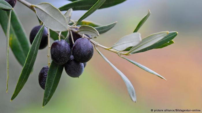 Ελπίδα για τα ευρωπαϊκά ελαιόδεντρα
