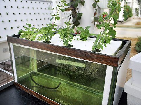 This tank shows what can be done with Hydroponics in the home.  All you need is a 10 Gallon aquarium, an air supply, Polystyrene board and, of course, your choice of plant!