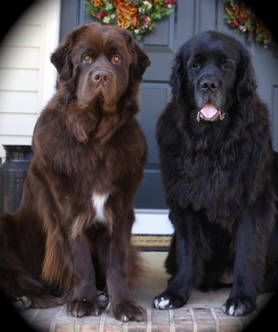 Newfoundland Dogs Samson (Brown) and Sophie