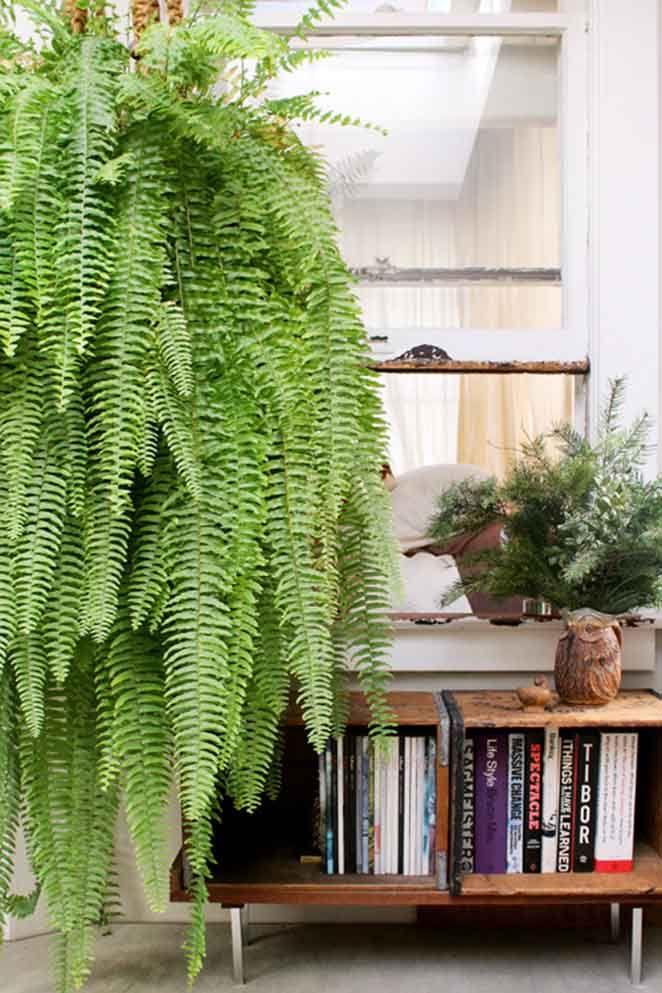 Plantas para ter em apartamento com animais: Samambaia de Boston