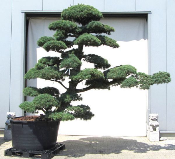 18 best garten bonsai f r garten images on pinterest. Black Bedroom Furniture Sets. Home Design Ideas