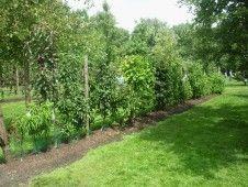 Lag hekk av frukttrær