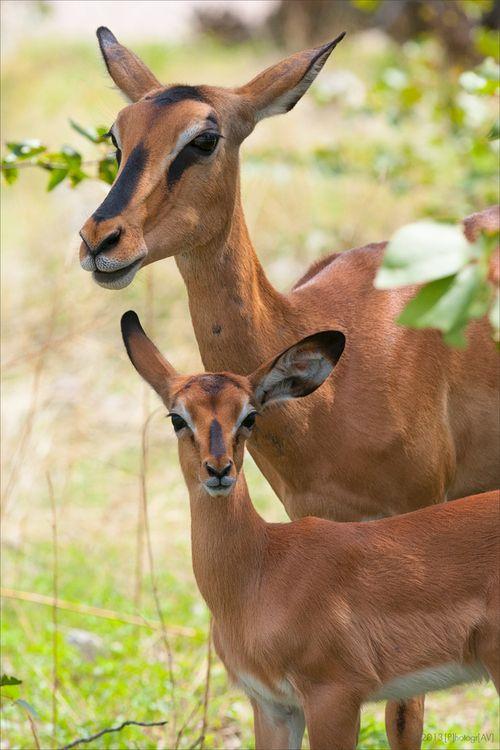 37 best images about Animals - Antelope on Pinterest ...