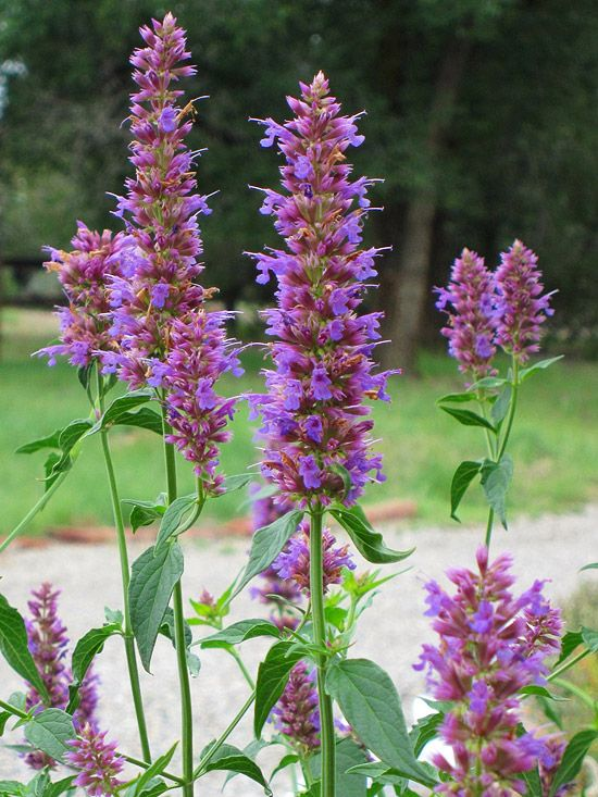 Anise Hyssop (attracts bees, hummingbirds, and butterflies); drought tolerant & native