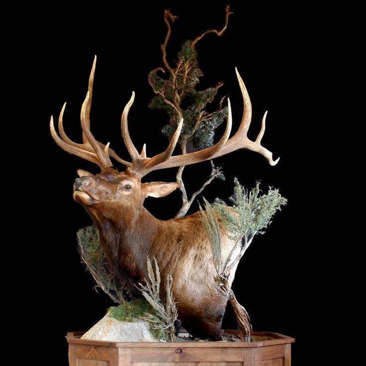 Elk Shoulder Mount Google Search Taxidermy Taxidermy