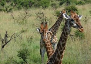 Bonamanzi is home to the Big 4, plus Giraffe, zebra, Wildebeest, Nyala, Red Duiker, as well as many other smaller animals