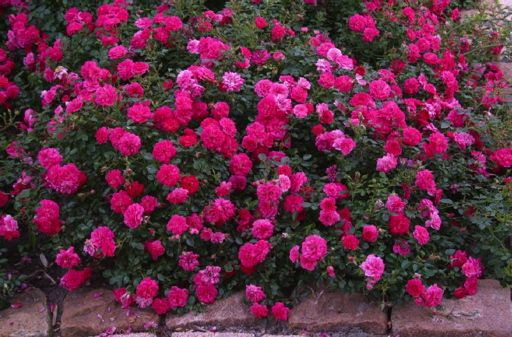 Low-Growing Ground Cover | Ground Covering Roses