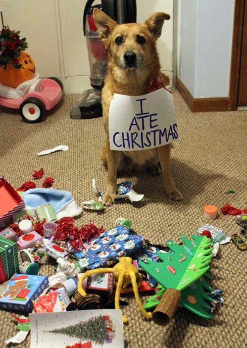 """I ate Christmas.""  Shame, I think.  Nope, looks more like brazen defiance.  Funny Dog Shaming"