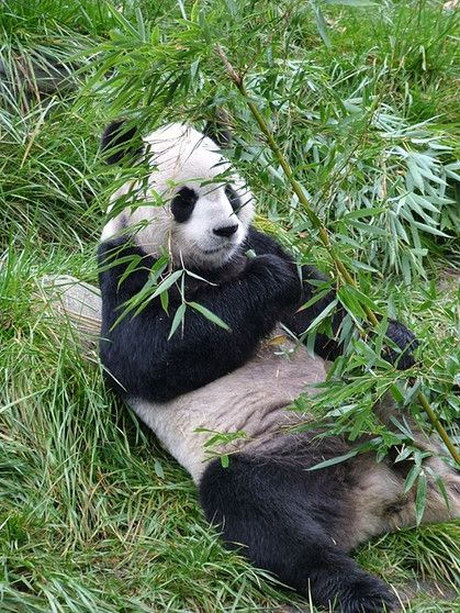Grosser Panda Erholt Sich Erfolgreicher Schutz Einer Bedrohten Art