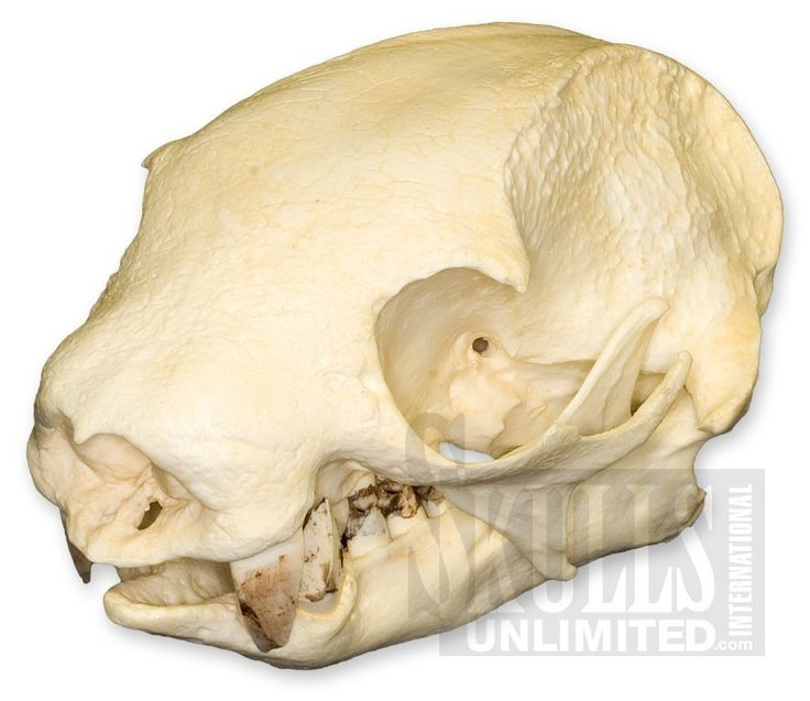 WTQ-273: Southern Two-toed Sloth Skull ( Replica)