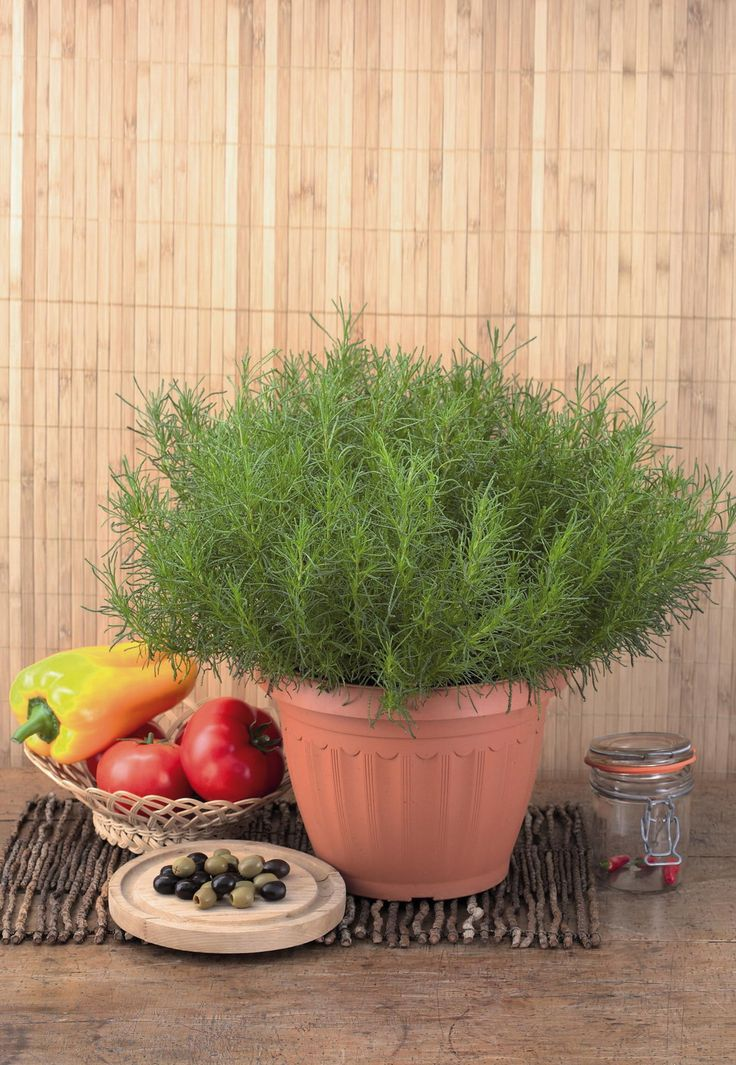 olive herb  u0026 39 olivia u0026 39