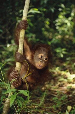www.villabuddha.com  Bali  Indonesie  Orangutan tracking in Borneo