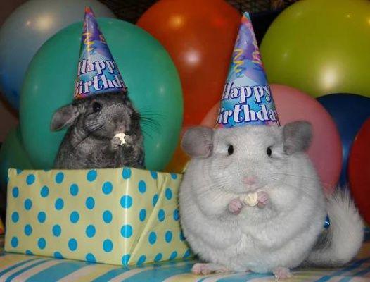 Narozeniny činčily, balóny, narozeniny klobouky, činčily, párty