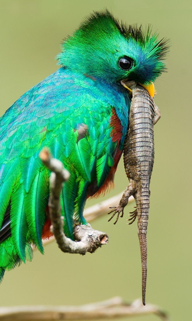 So beautiful it almost looks fake!...then you notice the lizard its eating ;) (its called a Quetzal) Quetzal bird important to the Aztecs, related to their ...