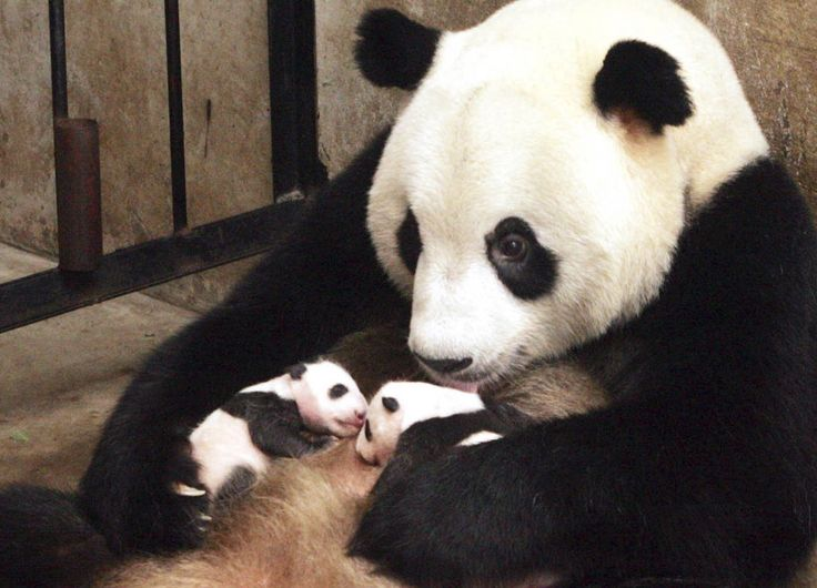 Panda momma and twin babies~