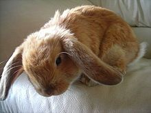 Have a Holland Lop Bunny