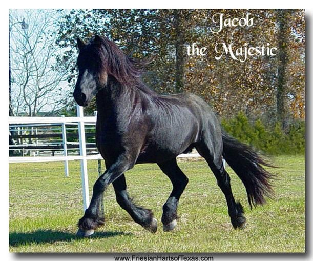 friesian stallions for cross breeding, friesian harts of texas