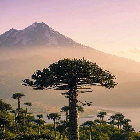 Araucaria, el árbol sagrado de los Pehuenches, y de fondo el Volcán Llaima. #Araucanía.