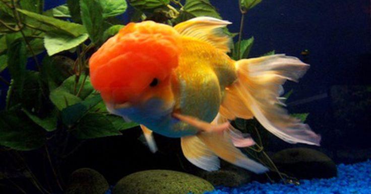 Información sobre la respiración de los peces dorados. El pez dorado es una subespecie domesticada de un pez llamado Carassius auratus. Los peces dorados se tienen generalmente como mascotas, se alimentan con comida para peces, algas, plancton y otras pequeñas formas de vida acuática. Aunque los peces dorados son una de las especies más sencillas de la vida acuática para cuidar, sus sistemas ...