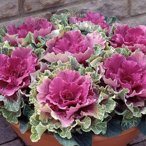 9 best images about ornamental cabbage on pinterest for Ornamental trees for flower beds
