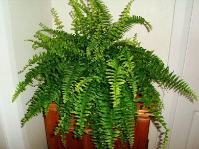 Best 25 Boston ferns ideas on Pinterest People from walmart
