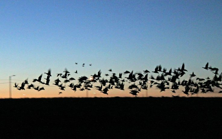 A huge flock of geese taking off from a field after sunset - preparing for migration to warmer places :)