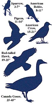 Bird Sizes and Measurements