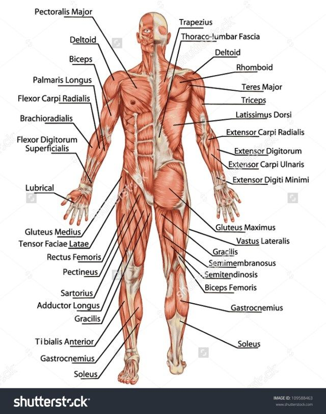 Skeletal Muscle Diagram Labeled 1979 Porsche 924 Wiring Of Upper Body Muscles Human Anatomy Study Pinterest
