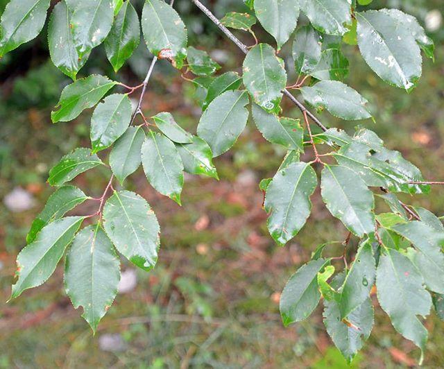 Wild Cherry Tree Leaves Tree Leaves Cherry Tree Plant Leaves