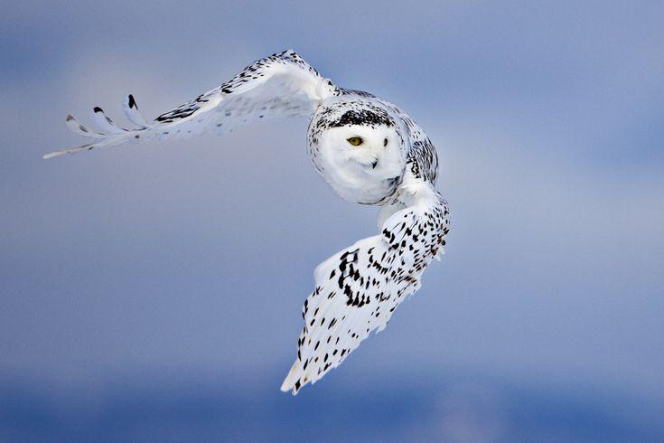 Sneuglen er utvivlsomt en af verdens smukkeste og mest imponerende fugle. De kan for eksempel flyve næsten fuldkommen lydløst, hvilket gør dem til fabelagtige jægere. Dette er en hun - hannen er hvid som sne. (Foto: Uri Golman)