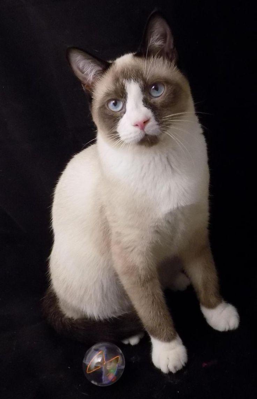 Meet Ozzie & Creamy, a Petfinder adoptable Snowshoe Cat | Atlanta, GA | Siamese If You Please?Ozzie & Creamy DSH Male�sApple Siamese & Snow Shoe SiameseDOB: 9/15/14Ozzie...