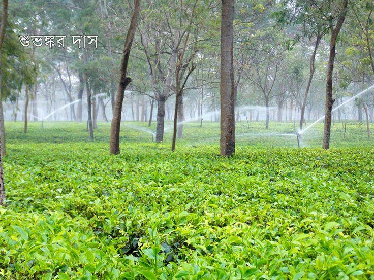 Tea Garden near at Alipurduar Junction