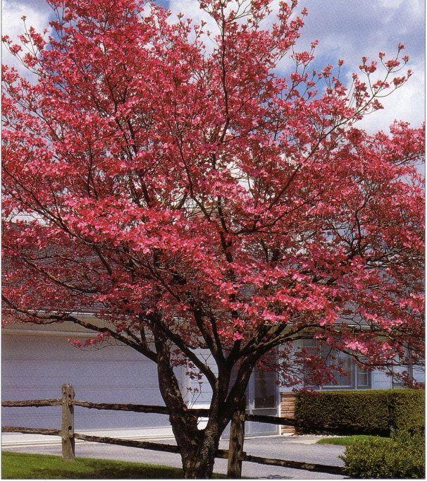 'Cherokee Brave' Dogwood - Red Dogwood Tree