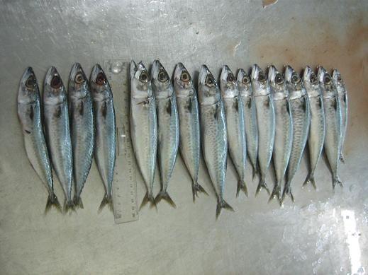 Cigar Minnows, mackerel, squid, and Ballyhoo for sale - Pensacola Fishing Forum