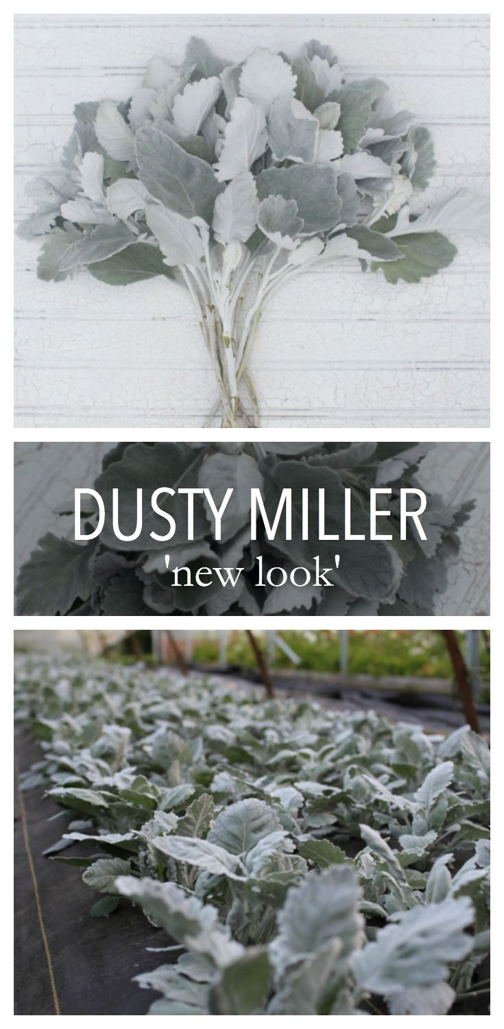 One of the most productive and unique foliage plants around, this special Dusty Miller features tall, thick stems with large, smooth-edged silver leaves. The more you pick it, the more stems it produces. Ready to cut in just four months from sowing, this hardworking plant will reward you with buckets and buckets of fuzzy silvery foliage all season long. In warmer areas it will perennialize if mulched.