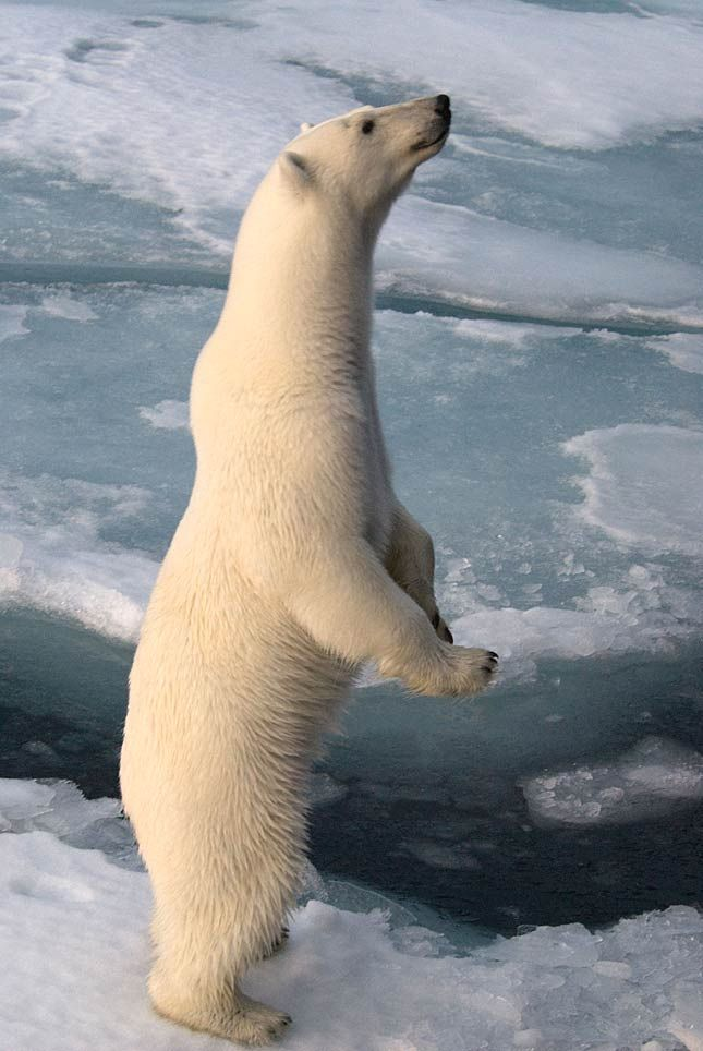 (c) steve morell/wwf-canon Polar Bear: the largest ever found bear was a Polar Bear: 1.002 kg having a height of 3,65m. Due to the retreat of the marine glaciers his access to his main diet - seals - is getting worse.