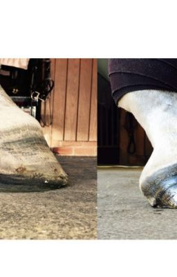 #wattpad #short-story We treat laminitis, founder, white line disease, thrush, navicular disease, poor hoof quality, broken coffin bones, long toe-low heel syndrome, and many other hoof problems. The EVA Leather Therapeutic Shoe, The EVA Wood Therapeutic Shoe, or The Wooden Therapeutic Shoe along with Equicast and a reh...