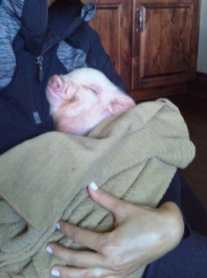 Mini Pig Pros: The Best Parts of Owning a Pet Mini Pig