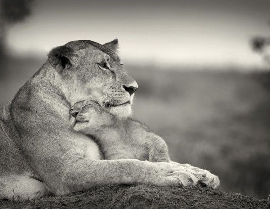 Love you, Mommy: Big Cat, Lionesses, Little One, Mothers Love, Mothers Day, Sweet, Cubs, Bigcat, Animal