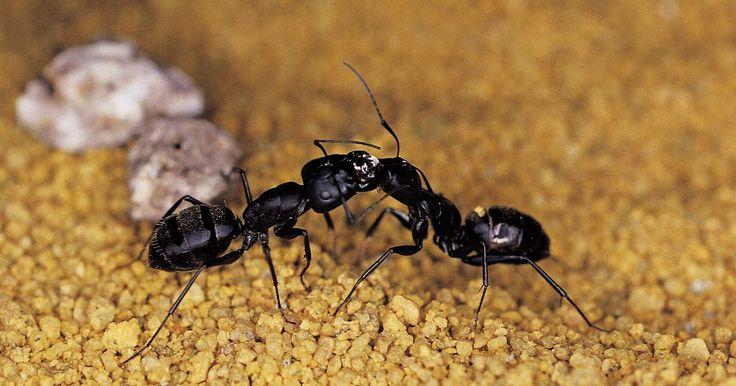 Cómo matar las plagas de hormigas. Muchos propietarios asumen que la mejor forma de deshacerse de las plagas de hormigas es utilizar plaguicidas comerciales, pero esto no es siempre el caso. Aunque los pesticidas suelen ser muy eficaces, podrían no ser seguros para su uso en los hogares con niños pequeños y mascotas. En muchos casos, los métodos naturales y no tóxicos son muy ...