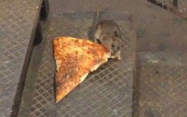 PizzaRat, un topolino alla conquista del web La pizza piace a tutti, perchè quindi stupirsi se un topolino newyorkese decide di trascinare giù per le scale della metro una fettona di pizza più grande di lui? Ecco la storia di pizza rat, il topo #web #virale #vide #cibo #pizza