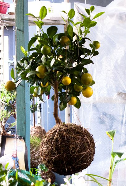 string gardening....lemon tree