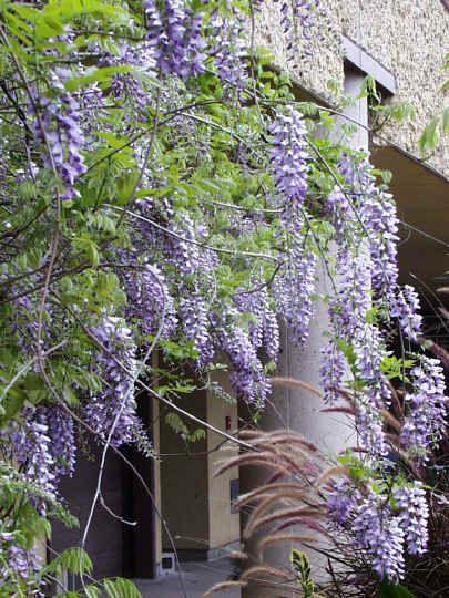 Glinicias trepadoras con flor caída, hay moradas, rosas y blancas. (Sólo salen en primavera) Hoja caduca.