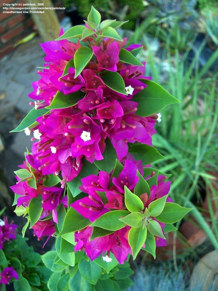 Full Size Picture Of Bougainvillea Torch Glow