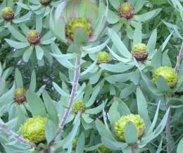 Leucodendron Tinctum   Male plant in flower           Spicy Conebush/Rose Cockade       Bergroos/Toffie-appel