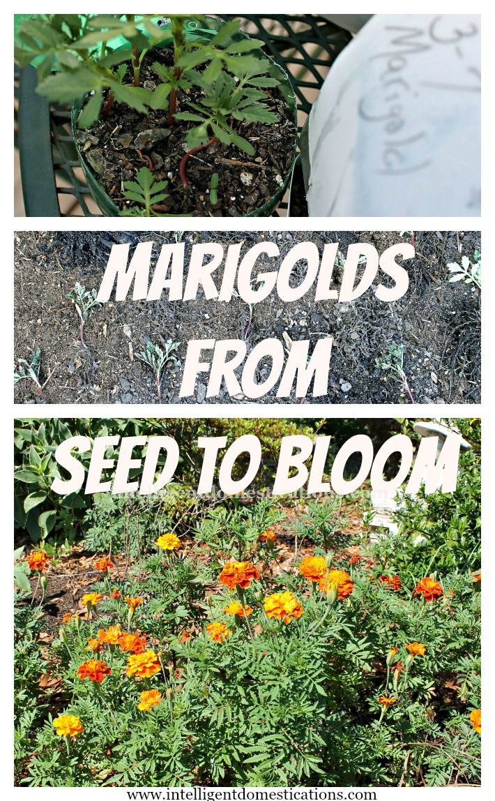 Would you like to know how to plant Marigolds From Seed To Bloom ? These are my Dwarf Marigolds from my 2014 flower garden. I have been waiting a whole year to share this with you!