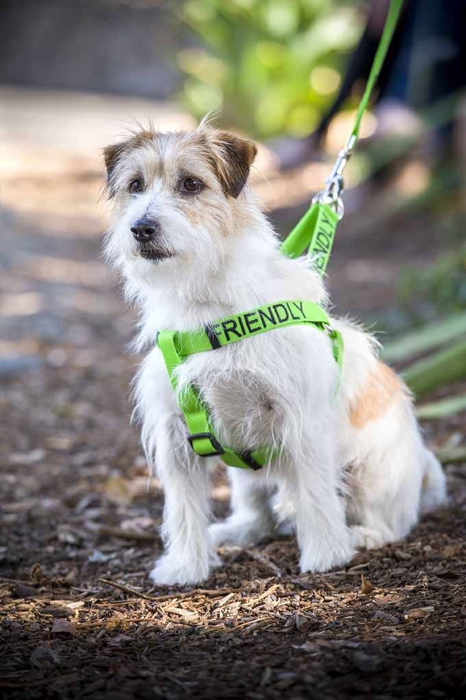 Green FRIENDLY adjustable strap harness and matching lead | Model: Jack Russell