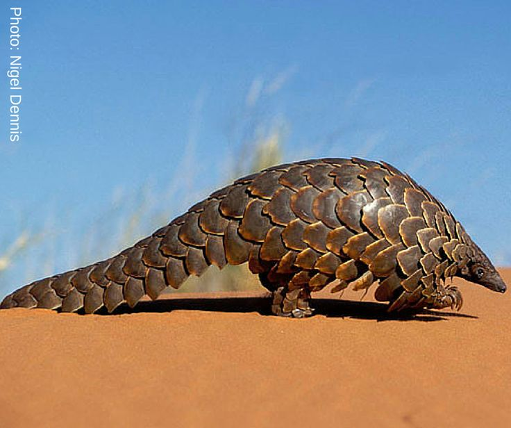 Did you know: In 2014, 6.7 tons of African pangolin scales were confiscated in Asia.